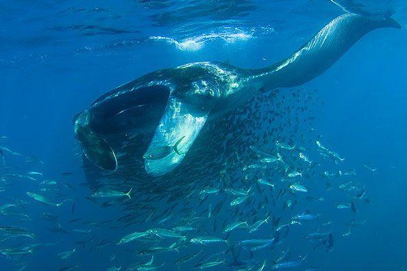 plongee manta maldives